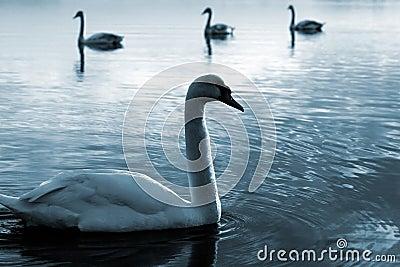 Familj av swans