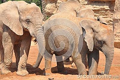 Famille d éléphant