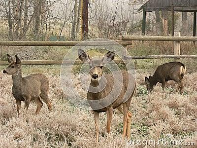 Famille de cerfs communs de mule