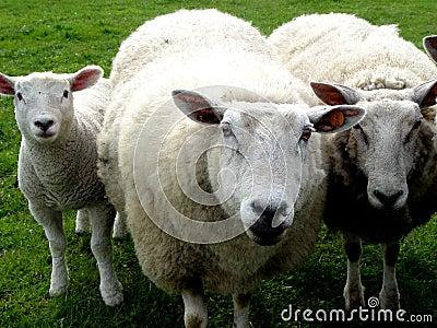 Famille de laines