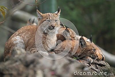 Famille de lynx