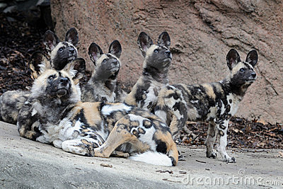 Family of African wild dogs