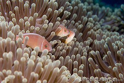 Family of Anemonefish