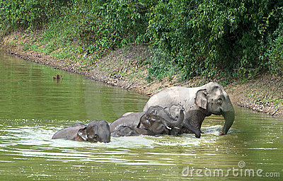 Family of asian elephants bathing