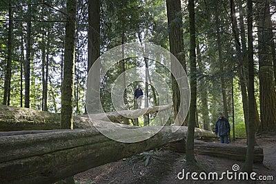 Family balancing on fallen trees