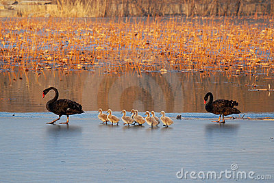 Family of black swan