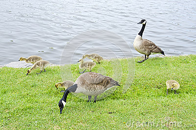 Family of Canada Geese by the River #1