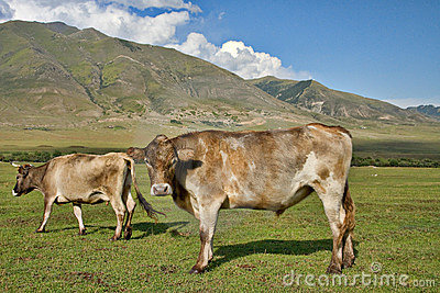Family cows