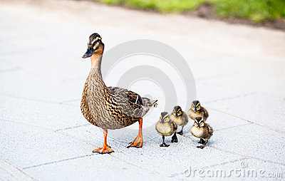Family of ducks.
