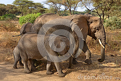 Family of elephants walking along the road