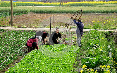 Pengzhou, China: Farmers Planting Seedlings Editorial Photo