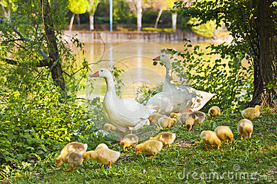 A family of geese