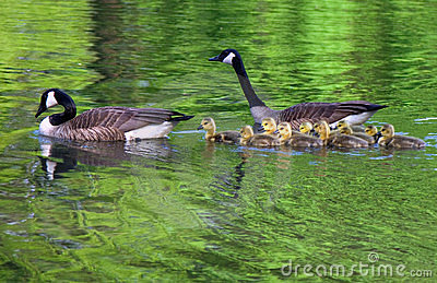 Family of geese swims