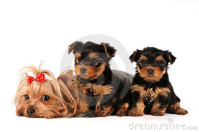Family group of yorkshire terrier