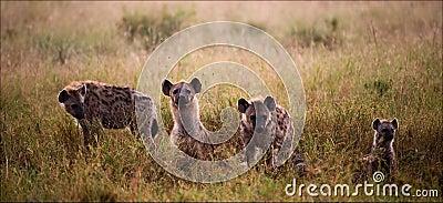 Family of hyenas.