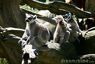 Family life of Ring-tailed Lemur monkeys