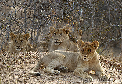 Family of lion cubs