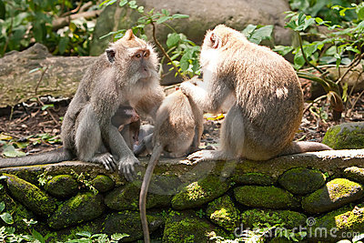 Family of long-tailed macaques