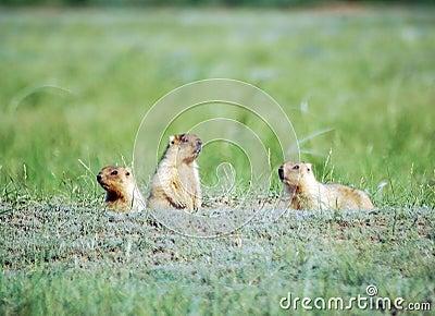 Family of marmots