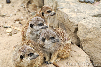 Family meerkat on the look out