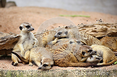 Family of Meerkats
