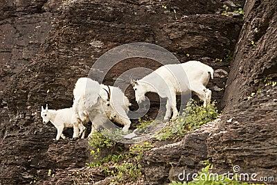 Family of Mountain Goats