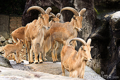 Family of Mountain Goats at zoo