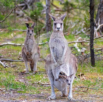 Free Family Of Kangaroos Stock Photography - 132502002