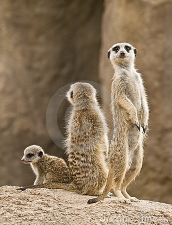 Free Family Of Meerkats Stock Photos - 10843653