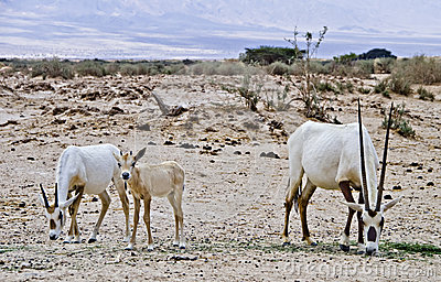 Family of Oryx in nature reserve, Israel