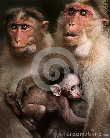 Free Family Portrait Of Macaque Monkeys Stock Images - 29898414