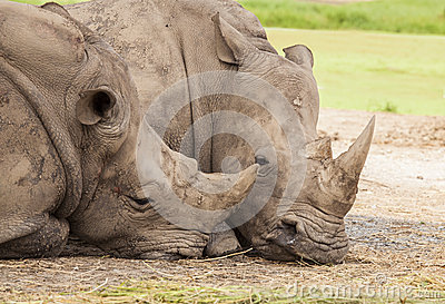 Family of rhino