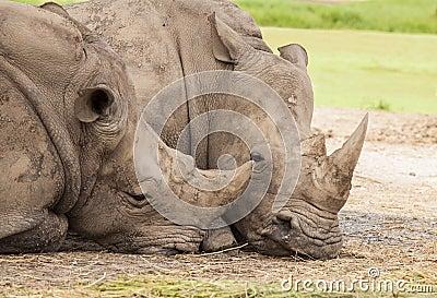 Family of rhino