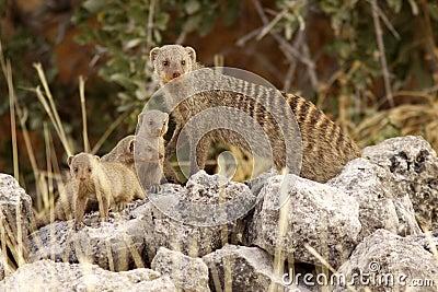 Family suricate