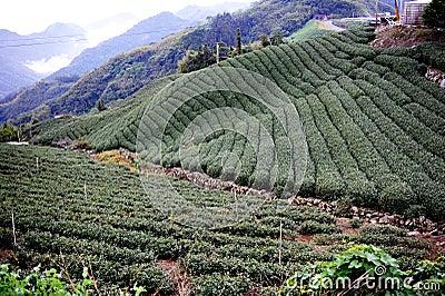 Famous taiwan tea farm