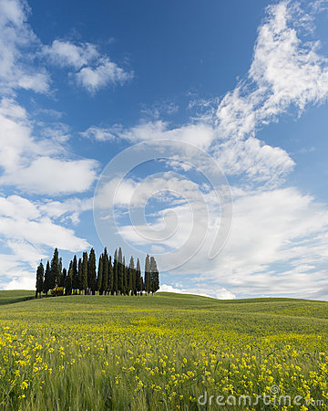 Famous Tuscan cypress trees