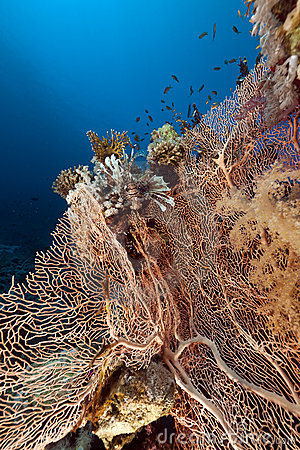 Fan coral and fish in the Red Sea.