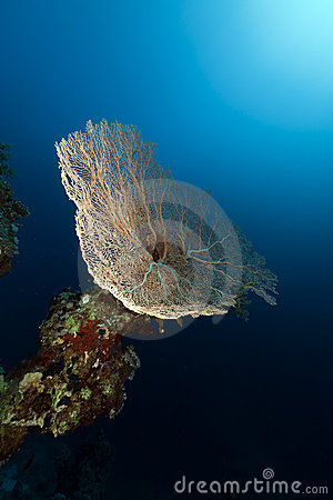 Fan coral in the Red Sea.