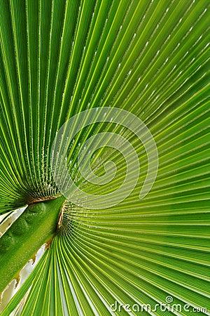 Free Fan-like Palm Leaf Stock Photography - 16535612