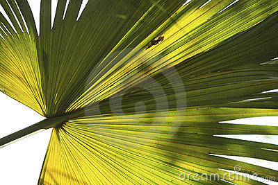 Fan Palm Frond 1 Royalty Free Stock Image - Image: 3181566