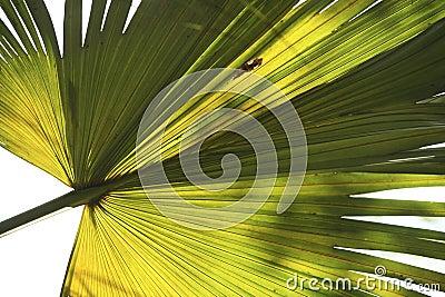 Fan Palm Frond 1