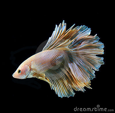 Fancy betta fish black background images frompo for Black betta fish for sale