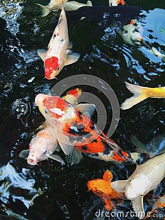 Fancy carp stock photo image 49044076 for Koi carp pool design
