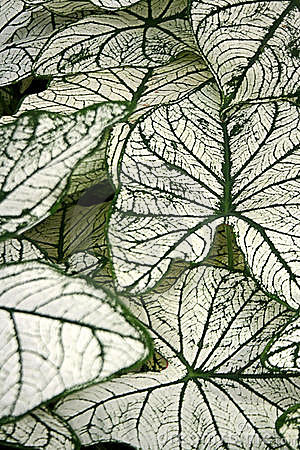 Fancy Leaved Caladium