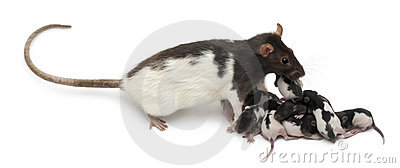 Fancy rat taking care of its babies