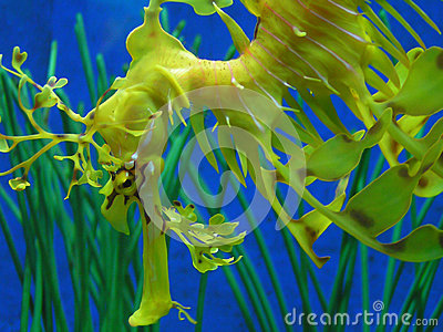 Fancy Seahorse