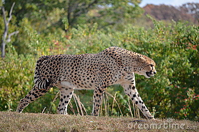 Fanfarronería del guepardo