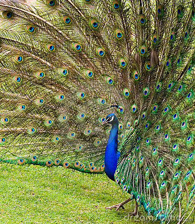 Fanned feathers of a Peacock