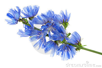 Fantastic wild blue cornflower