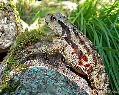 Far-eastern Toad 6